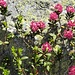 Alpenrose flowers!