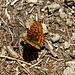 A really nice butterfly.<br />Kaisermantel (Argynnis paphia)?
