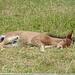 Ein müdes Fohlen