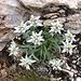 das Edelweiss die zarte Bergblume.../ gleich hinter der Hütte