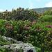 Die Alpenrosen noch in voller Blüte