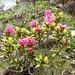 Nice alpenrose flowers!