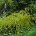 Sul sentiero un incontro inaspettato, una bella pianta di Maggiociondolo