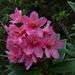 Il primo Rododendro della stagione sul sentiero per la Capanna Cremorasco, che sorpresa!