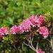 Un cespuglio fiorito di rododendro