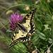 ...Schmetterlinge (I)