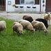 Niedliche Schafe