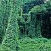 magic wood (pueraria lobata) tra Agno e Magliaso<br />https://youtu.be/b10mhitp35k