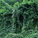 magic forest (pueraria lobata) tra Agno e Magliaso<br />https://youtu.be/b10mhitp35k