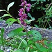 orchidaceae ??? campra lucomagno 25 07 2019.<br />Elleborine violacea (Epipactis atrorubens)
