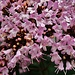 origanum vulgare campra macro 25 07 2019