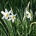 939 Grandalla: Blume des Landes (weisse Narzisse)