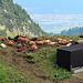 Heute fällt die Milchproduktion der Hitze zum Opfer, die Kühe haben Hitzefrei bekommen, an der Sonne hat es sicher mehr als 25 Grad, Höhe der Alp ca. 1777 m.