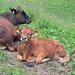 die Kühe leiden an der Hitze genau wie wir Menschen.