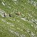 Eine Herde an Gamsen lässt sich nicht beeindrucken