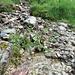 Alpen-Rispengras (Poa alpina)