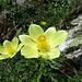 Schwefel-Anemone (Pulsatilla alpina subsp. apiifolia)