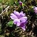 Ganzblättrige Primel (Primula integrifolia)