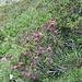 Viele Alpenrosen blühen noch