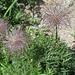 Von diesen Pumuckel- oder Strubelpeter-Pflanzen hatte es im Val Grialetsch 100erte... kennt jemand dieses Gewächs mit Namen? Alpenanemone; Vielen Dank Marcel für die Info