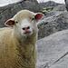Eines der vielen Schafe bei Ober Boden.