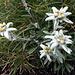 Edelweisse.