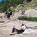 <b>Vedo molte capre che si muovono o stazionano sulle placconate di roccia a monte dei cinque edifici. </b>