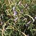 Vicia villosa Roth Fabaceae  Veccia pelosa Vesce velue Zottige Wicke
