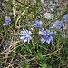 Cichorium intybus L. Asteraceae  Cicoria comune, Radicchio Chicorée sauvage Wegwarte, Zichorie