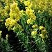 Gallium verum L.<br />Rutaceae<br /><br />Caglio zolfino, Erba zolfina<br />Gaillet jaune<br />Echtes Labkraut