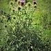 Cirsium vulgare (Savi) Ten.<br />Asteraceae<br /><br />Cardo asininino<br />Cirse commun<br />Lanzettblättrige Kratzdistel, Gemeine Kratzdistel