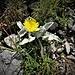 Hieracium tomentosum L.<br />Asteraceae<br /><br />Sparviere lanoso<br />Epervière tomenteuse<br />Filziges Habchitskraut, Wolliges Habichtskraut