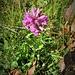 Stachys pradica (Zanted.) Greuter & Pignatti<br />Lamiaceae<br /><br />Betonica densiflora<br />Bétoine des Alpes, Bétoine hérissée<br />Alpen-Ziest, Alpen-Betonie