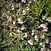 Euphrasia alpina Lam.<br />Orobanchaceae<br /><br />Eufrasia alpina<br />Euphrase des Alpes<br />Alpen-Augentrost