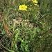 Helianthenum nummularium L.<br />Cistaceae<br /><br />Eliantemo nummulario<br />Hélianthème nummulaire<br />Gewöhnliches Sonnenröschen<br /><br />