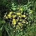 Crepis capillaris (L.) Wallr.<br />Asteraceae<br /><br />Radichiella capillare<br />Crépide capillaire<br />Kleinköpfiger Pippau, Dünnästiger Pippau