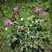 Centaurea uniflora Turra<br />Asteraceae<br /><br />Centaurea ad un capolino, Fiordaliso unifloro<br />Centaurée à un capitule, Centaurée uniflore<br />Einköpfige Flockenblume