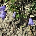 Campanula cochlearifolia Lam.<br />Campanulaceae<br /><br />Campanula dei ghiaioni<br />Campanule naine<br />Niedliche Glockenblume, Kleines Glockenblume