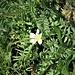 Cerastium arvense L.<br />Caryophillaceae<br /><br />Peverina dei campi<br />Céraiste des champs<br />Acker-Hornkraut