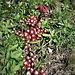 Sedum atratum L.<br />Crassulaceae<br /><br />Borracina atrata<br />Orpin noiratre<br />Dunkler Mauerpfeffer