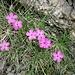 Dianthus pavonius Tausch<br />Caryophillaceae<br /><br />Garofanino pavonio, Garofanino negletto<br />Oeillet néglicé
