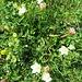 Parnassia palustris L.<br />Celastraceae<br /><br />Parnassia<br />Parnassie des marais<br />Sumpf-Herzblatt