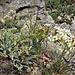 Saxifraga callosa Sm subsp. callosa<br />Saxifragaceae<br /><br />Sassifraga callosa, Sassifraga meridionale<br />Saxifrage à feuilles en languette<br />Zungen-Steinbrech