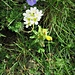 Saxifraga paniculata Mill. Saxifragaceae  Sassifraga alpina Saxifrage paniculée Trauben-Steinbrech, Immergrüner-Steinbrech