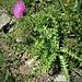 Carduus defloratus L.<br />Asteraceae<br /><br />Cardo dentellato<br />Chardon décapitéLangstielge Distel, Berg-Distel