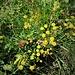 Bupleurum ranuncoloides L.<br />Apiaceae<br /><br />Bupleuro ranuncoloide<br />Buplèvre à feuilles étroites<br />Hahnenfuss-Hanenohr