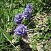 Polygala alpestris Rchb.  <br />Polygalaceae<br /><br />Poligala alpestre<br />Polygale alpestre<br />Voralpen-Kreuzblume