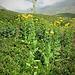 Inula helenium L.<br />Asteraceae<br /><br />Enula campana<br />Grande aunée, Inule hélénie<br />Echter Alant