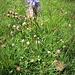 Phyteuma betoncifolium Vill.<br />Campanulaceae<br /><br />Raponzolo montano<br />Raiponce à feuilles de bétoine<br />Betonienblättrige Rapunzel