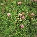 Trifoglio pratense L.<br />Fabaceae<br /><br />Trifoglio dei prati<br />Trèfle des prés<br />Rot-Klee, Wiesen-Klee